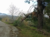 Micarone - Il Tarallo road tree damage